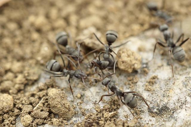 mravenci v hlíně